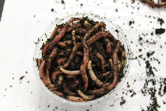 Dendrobaena Superworms