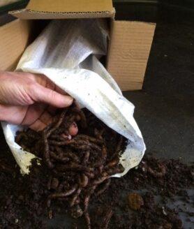 lobworms_1