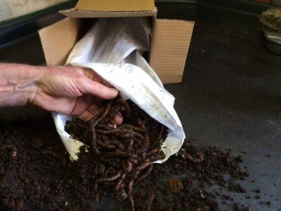 Lobworms